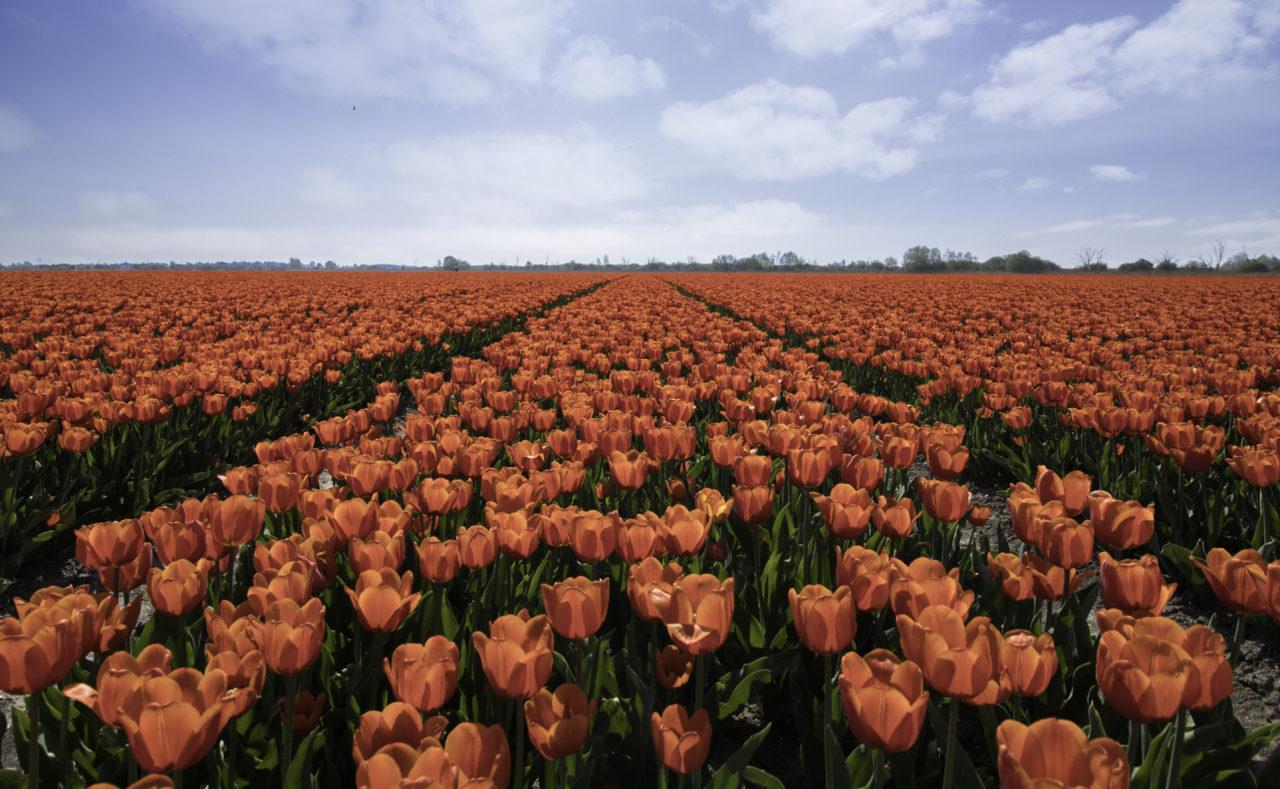 Tulip Tour Amsterdam